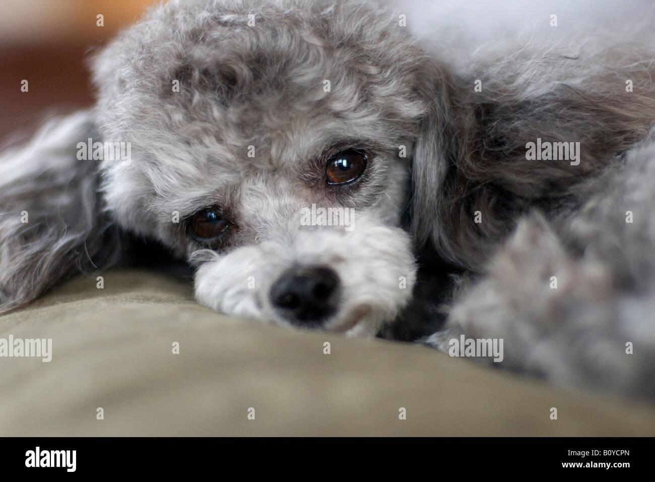 Tiny Teacup Poodle Stock Photos & Tiny Teacup Poodle Stock
