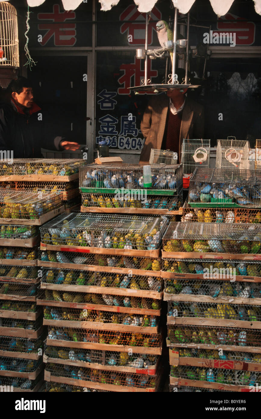 budgerigar, budgie, parakeet (Melopsittacus undulatus), masses of budgies in cages at market, China, Beijing - Stock Image