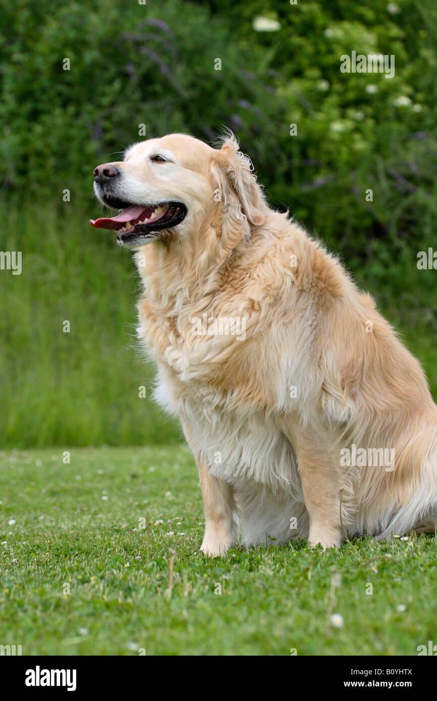 Old Fat Golden Retriever