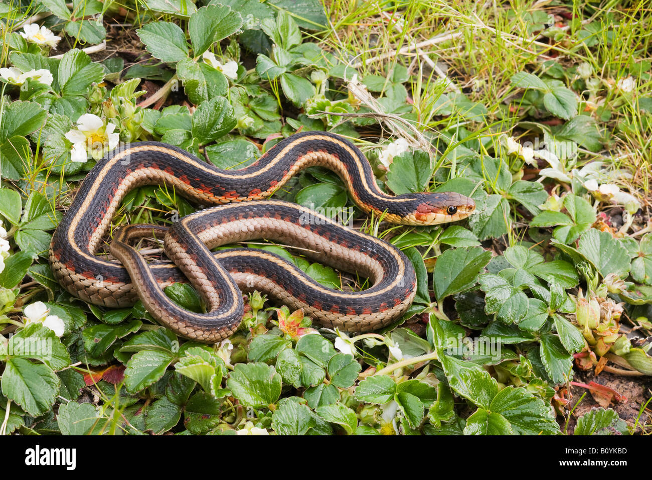 California Red sided Garter Snake Thamnophis sirtalis infernalis Northern California United States - Stock Image