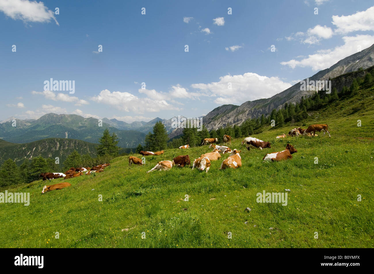 Austria, Salzburger Land, Herd of cattle grazing in a field - Stock Image