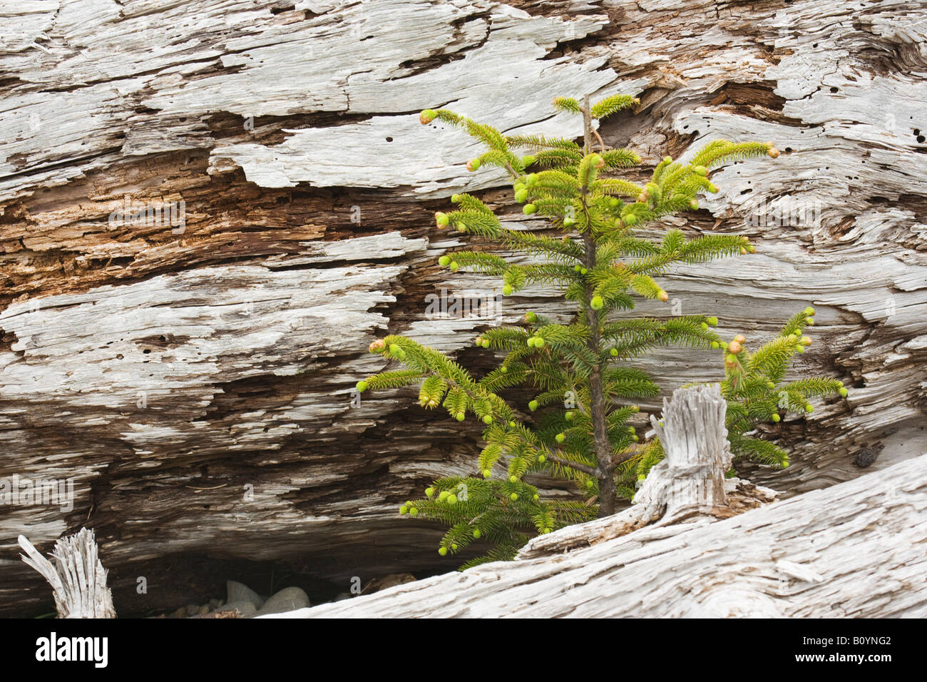Young spruce seedling, Rialto Beach, Washington, United States - Stock Image