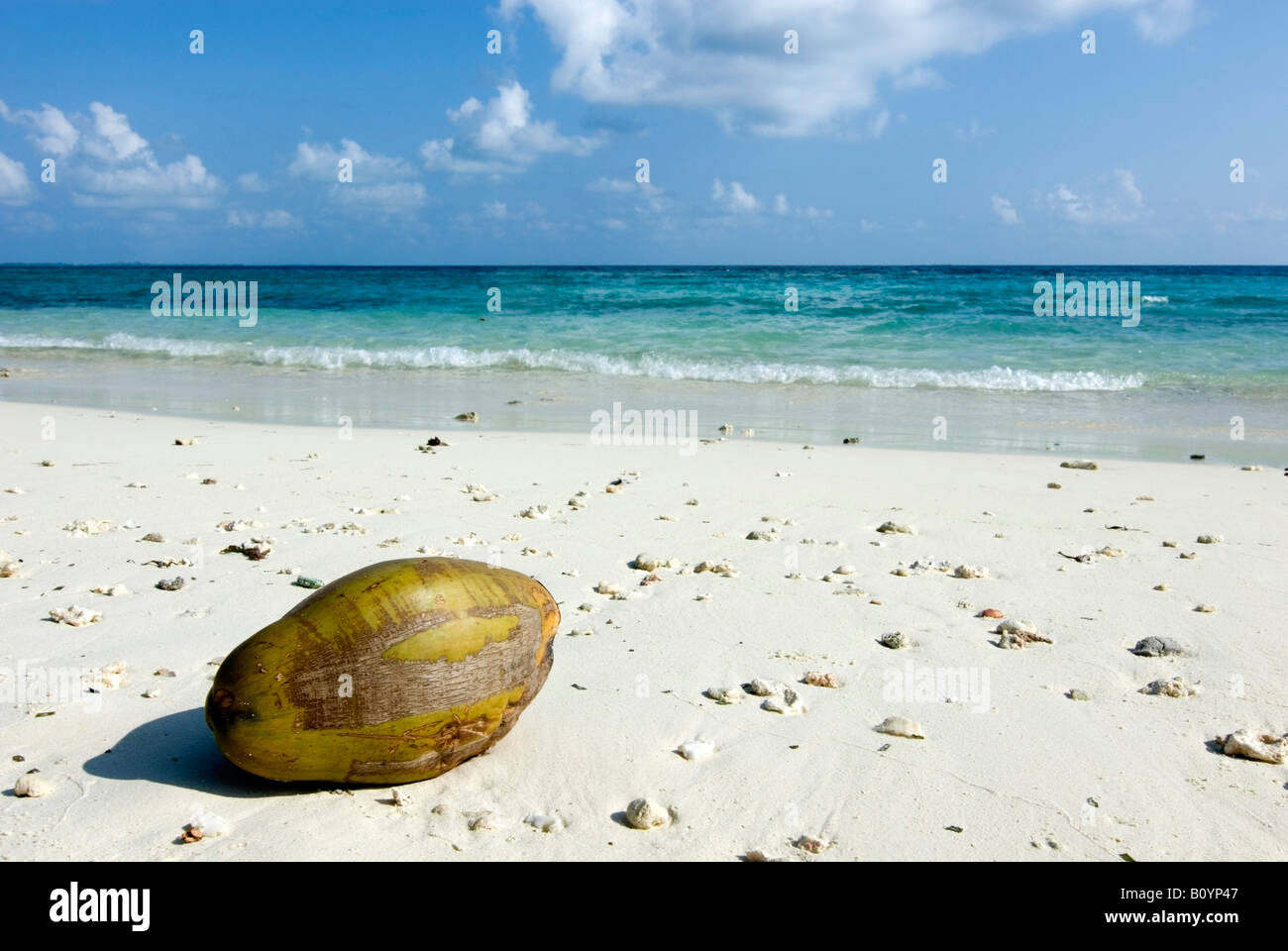 Maledives, Gan, Coconut lying at the beach - Stock Image