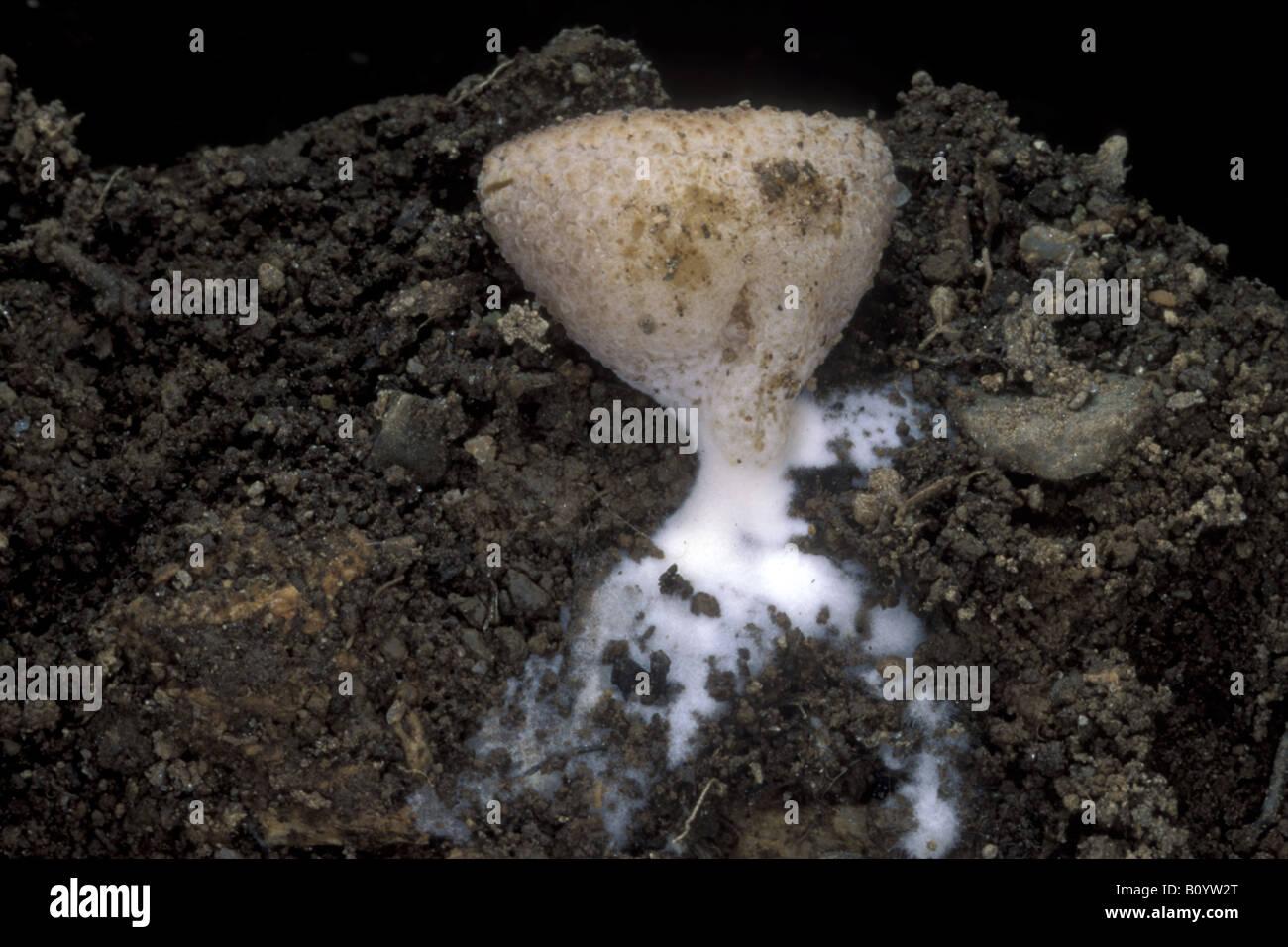 fungo fungus Peziza micropus fungo non ancora spuntato ife sezione del terreno con fungo Parco di Monza Parco Regionale - Stock Image