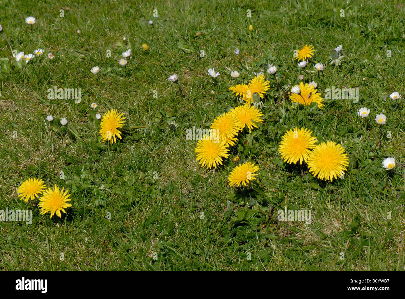 Flowering daisies and dandelions in a garden lawn - Stock Image