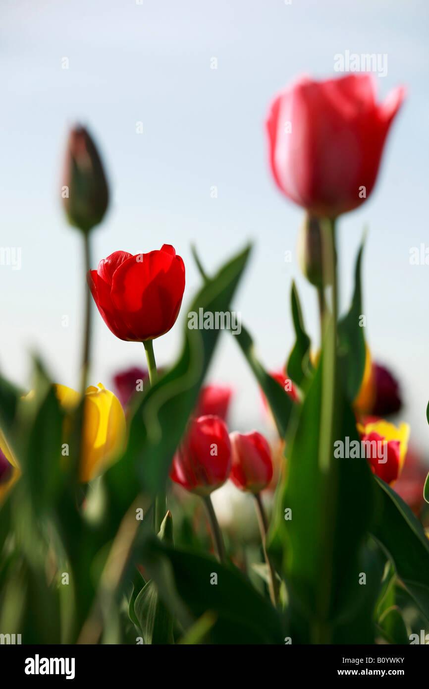 Tulips (tulipa) blossoming - Stock Image