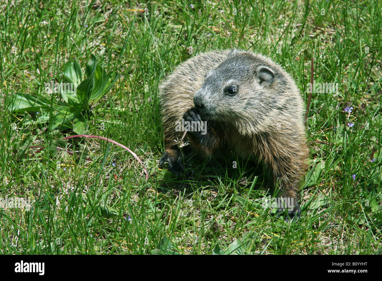 Young Groundhog Woodchuck Marmota monax eating dandelions Eastern United States - Stock Image