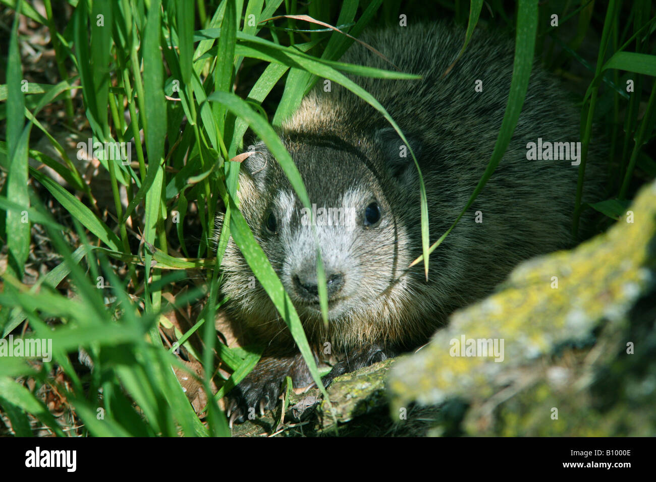 Baby Groundhog or Woodchuck Marmota monax in den entrance Eastern North America - Stock Image