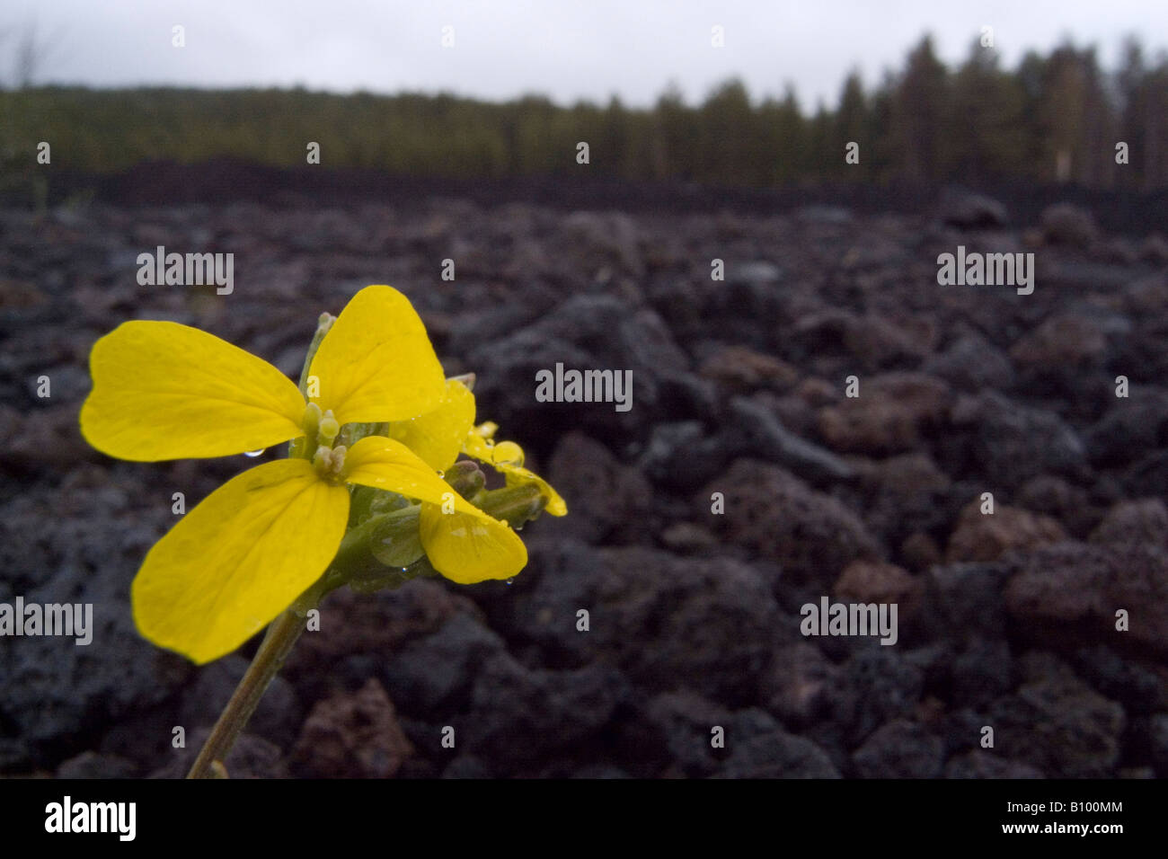 Flower emerging from lava near the summit of Mount Etna Sicily Italy Picture by Andrew Hasson April 26th 2008 - Stock Image