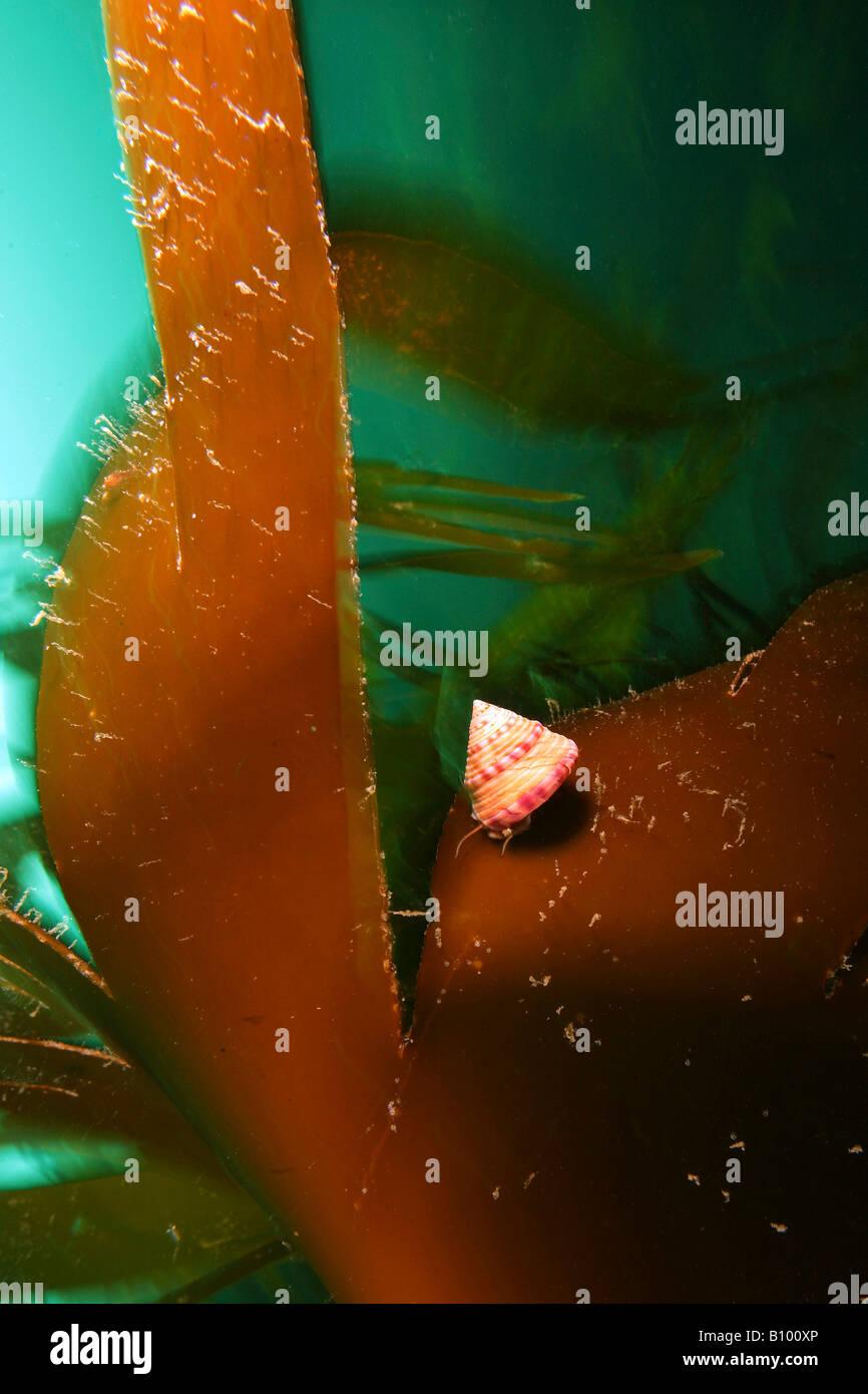 Top Snail on Kelp Calliostoma zizphinum Valentia Island Atlantic Ireland - Stock Image