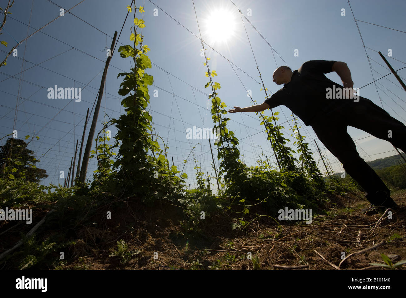 A farmworker looks over young Hop Bines / Vines as they climb the trellis they are attached to in the brilliant - Stock Image