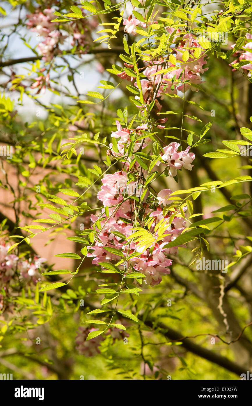 Pink locust pink robinia robinia stock photos pink locust pink pink flowers and new spring leaves of false acacia tree robinia pseudoacacia decaisneana against a blue mightylinksfo
