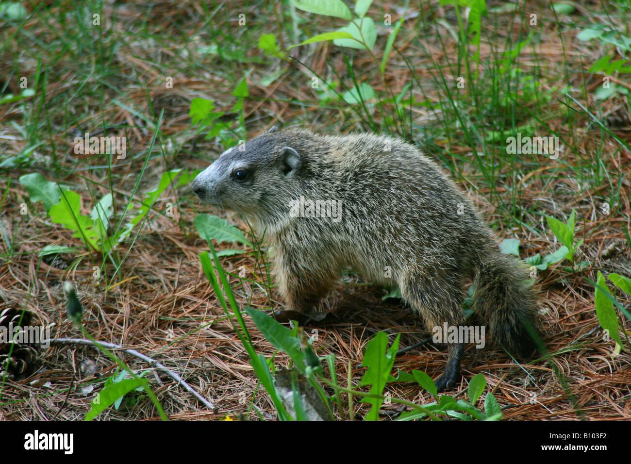 Baby Groundhog or Woodchuck Marmota monax Eastern North America - Stock Image