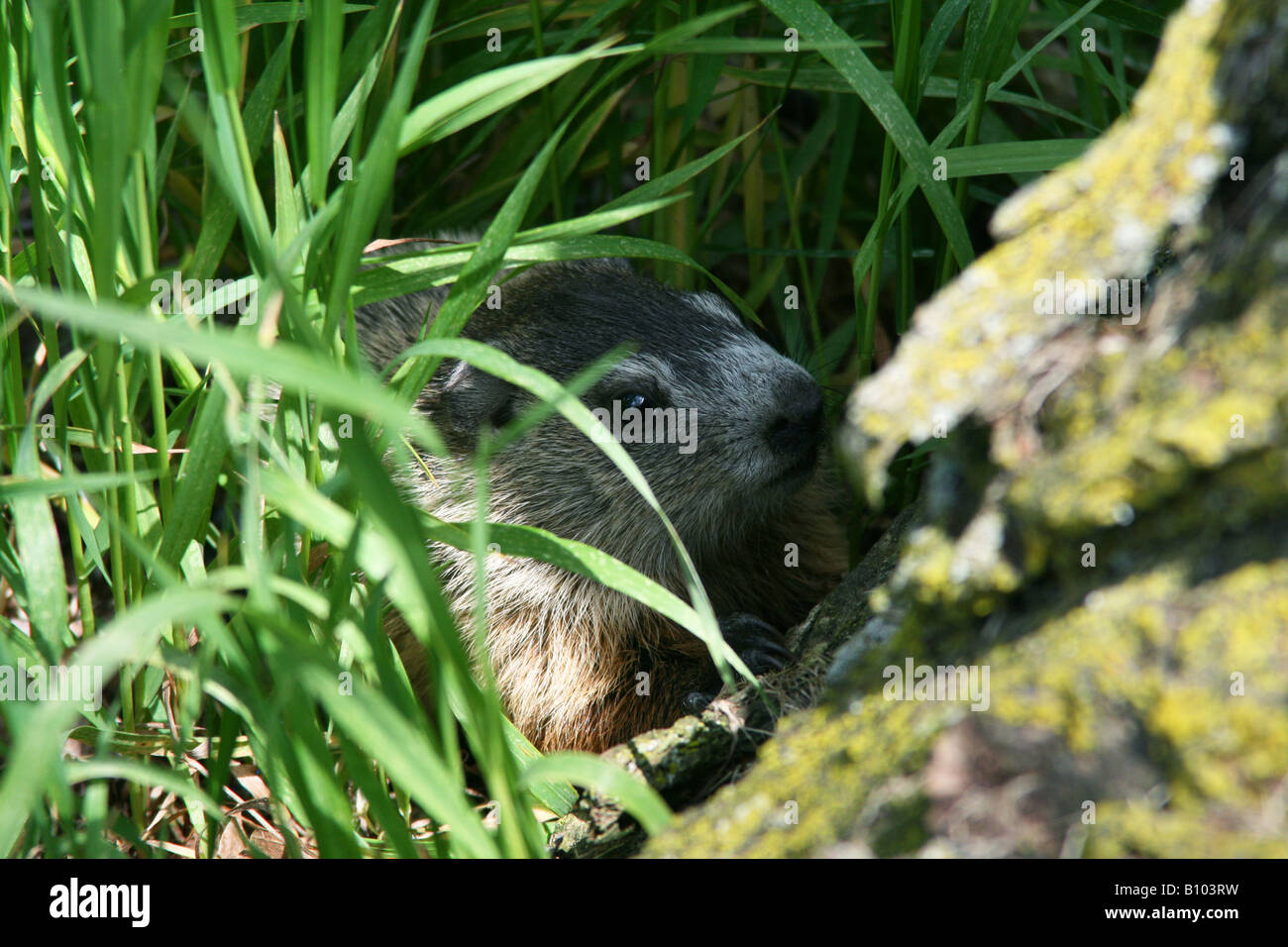 Baby Groundhog or Woodchuck in den entrance Marmota monax Eastern North America - Stock Image