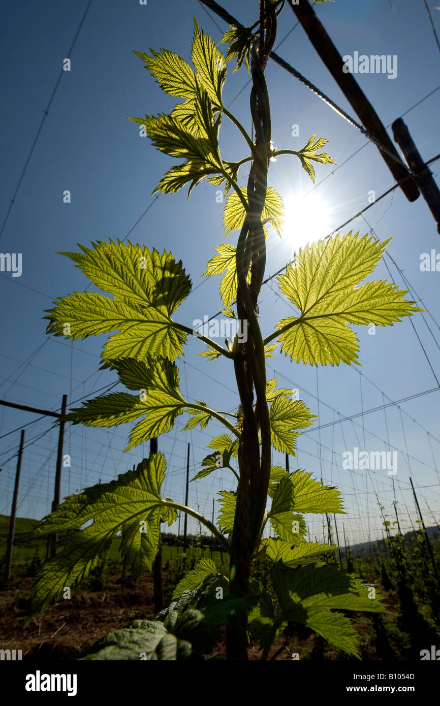 A young hop bine climbs under the brilliant Spring sunshine in the small village of Cleobury Mortimer in South Shropshire. - Stock Image