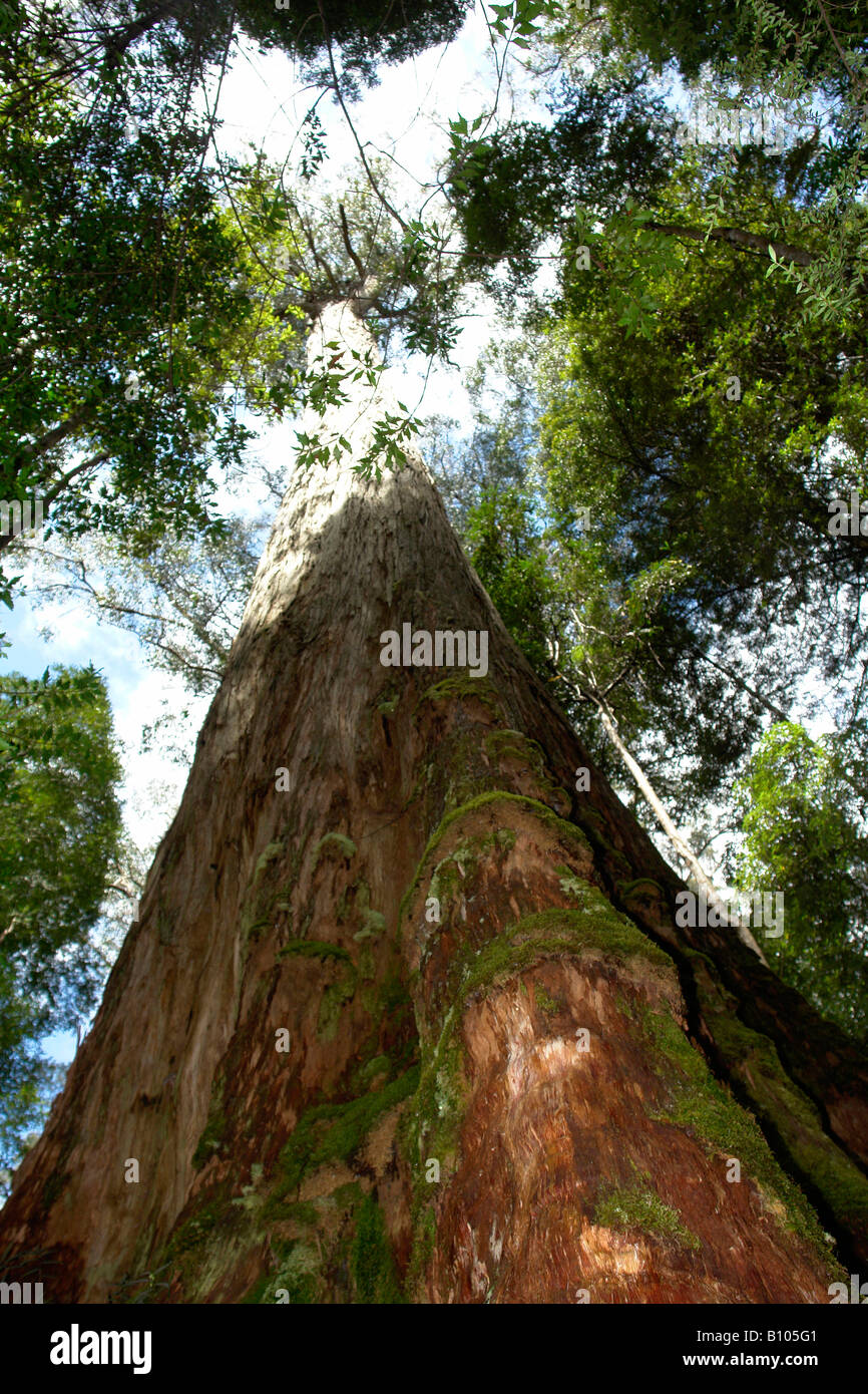 Tasmanian Oak Eucalyptus regnans Tahune Forest Reserve Tasmania - Stock Image
