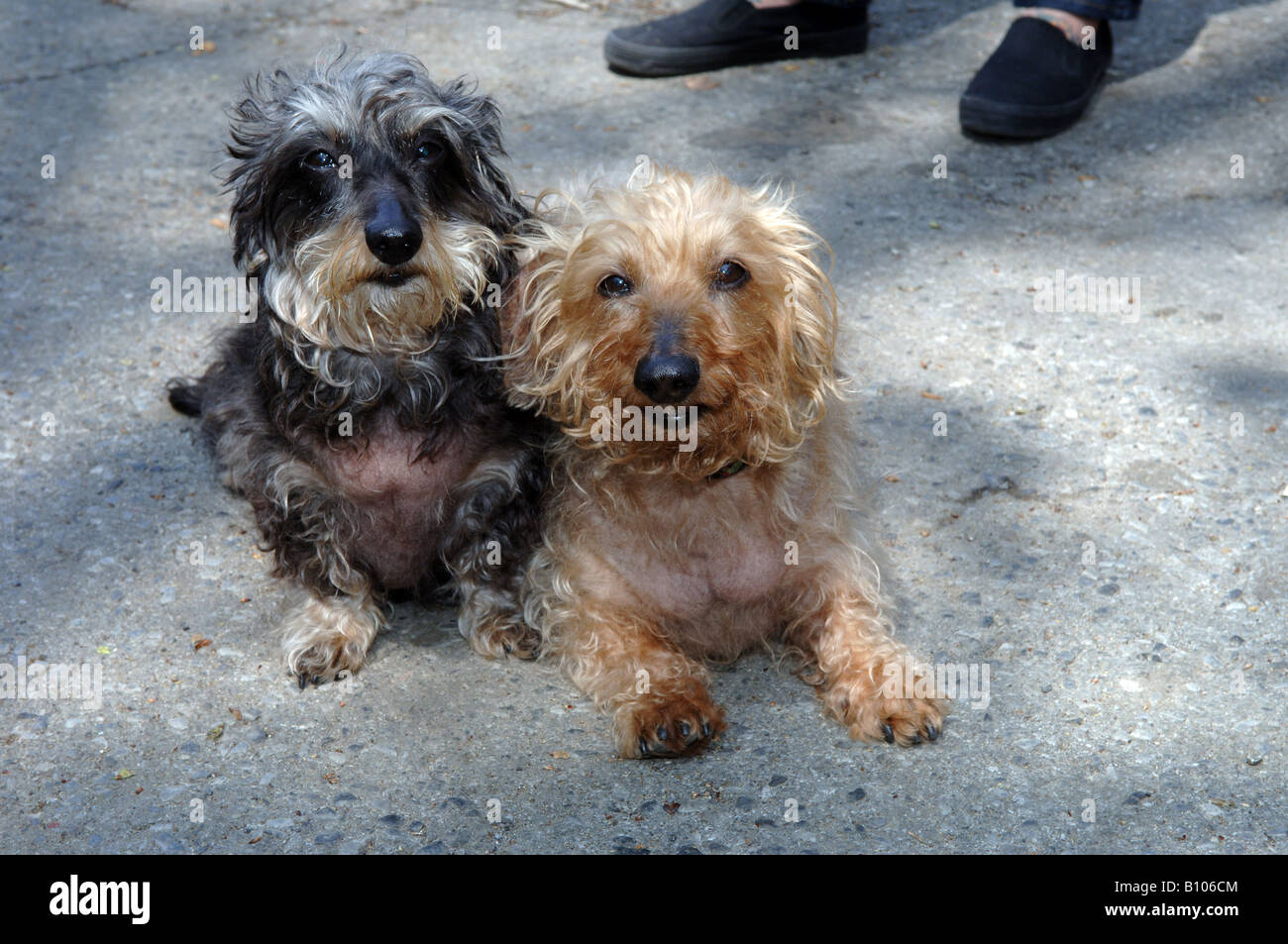 Wirehaired Dachshunds - Stock Image