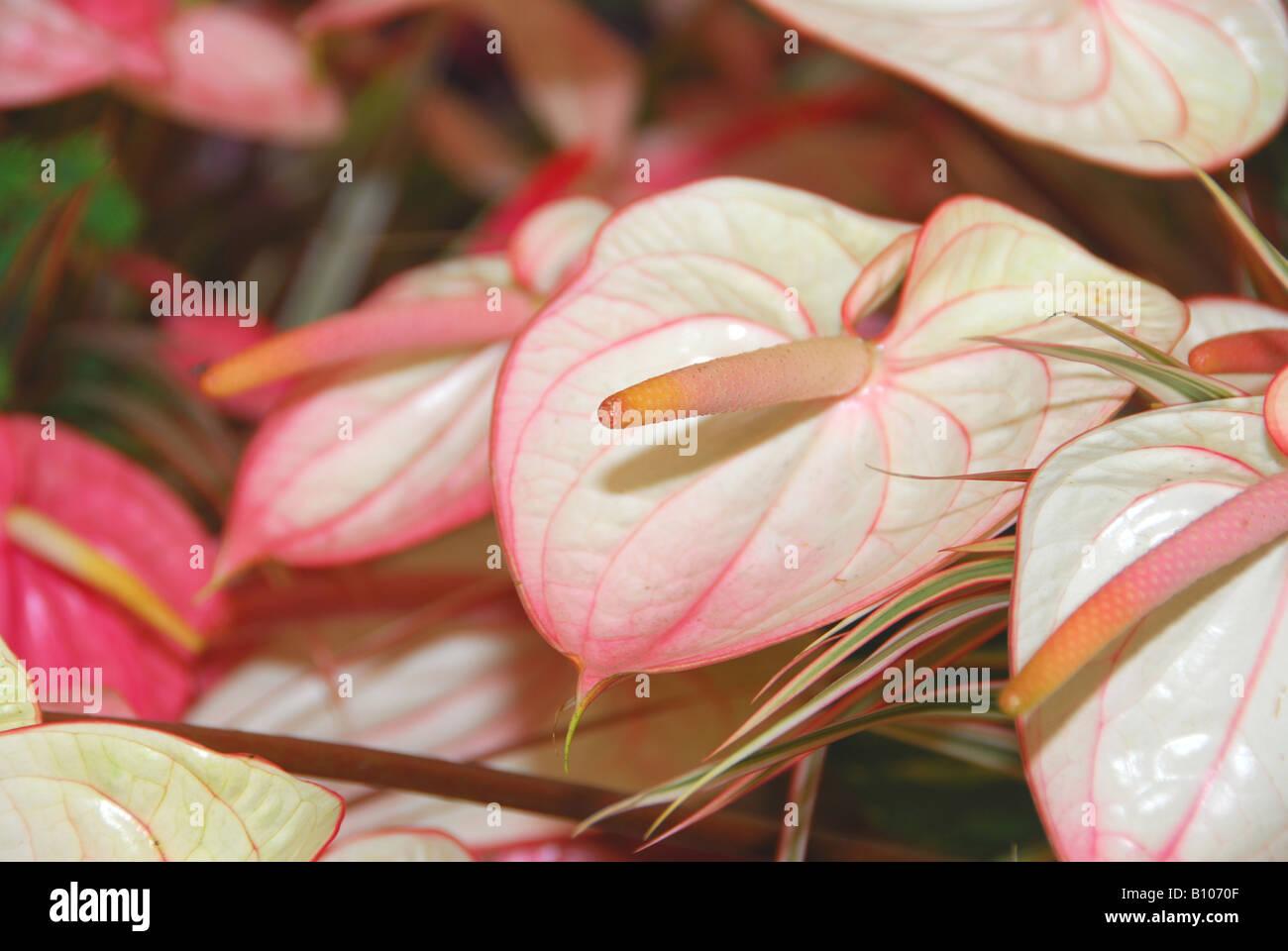 Chelsea Flower Show 2008 Anthurium Fantasia - Stock Image