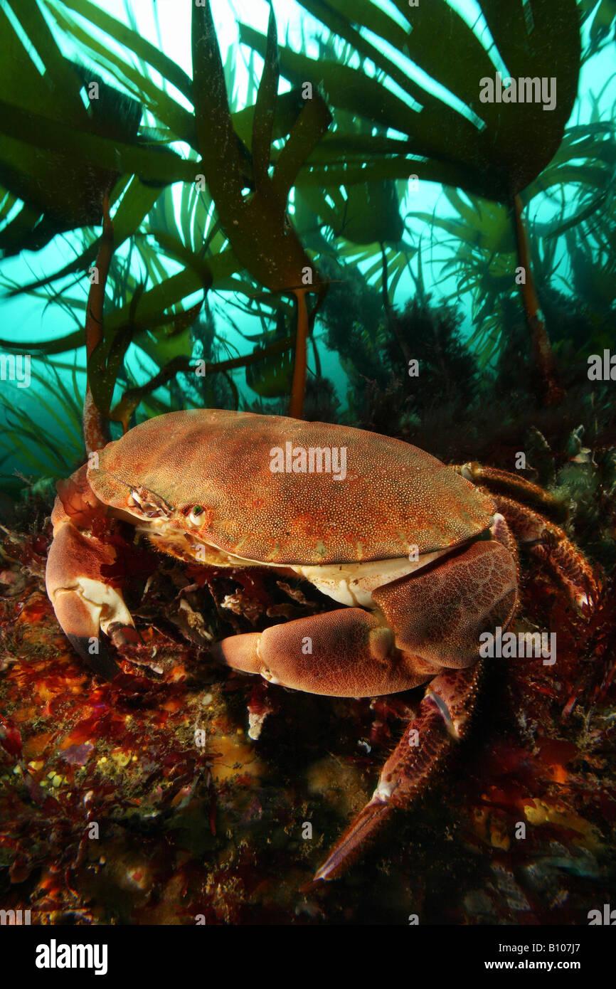 European Edible Crab Cancer pagurus Valentia Island Atlantic Ireland - Stock Image