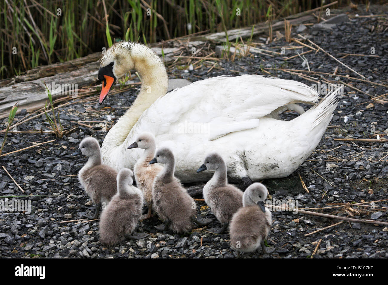 Mute Swan with brood - Stock Image