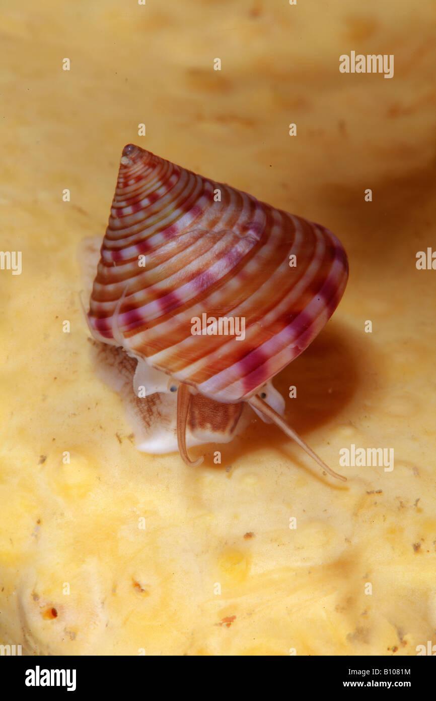 Top Snail Calliostoma zizphinum Valentia Island Atlantic Ireland - Stock Image