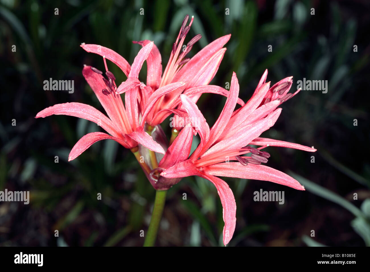 Red Nerina/RED Nerine/Guernsey Lily-Nerine sarniensis-Family Amaryllidaceae - Stock Image