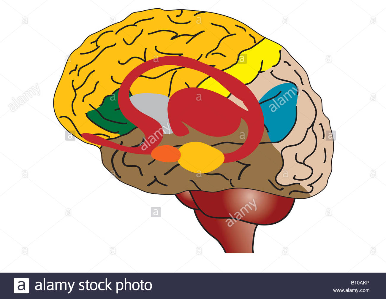 Brain Structures Stock Photos Brain Structures Stock Images Alamy