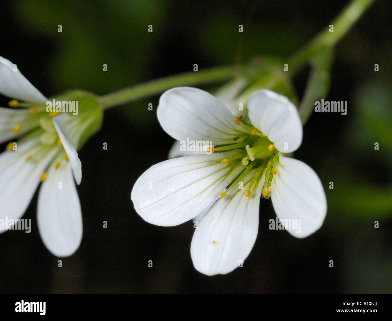 Meadow Saxifrage, saxifraga granulata - Stock Image