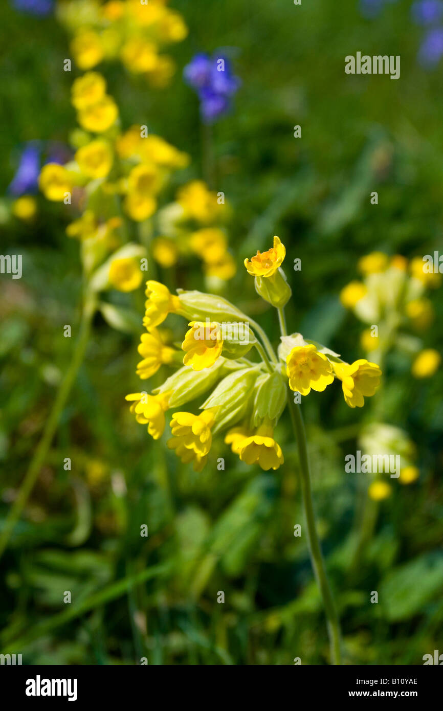 Close up of cowslip flower also known as primula veris Stock Photo