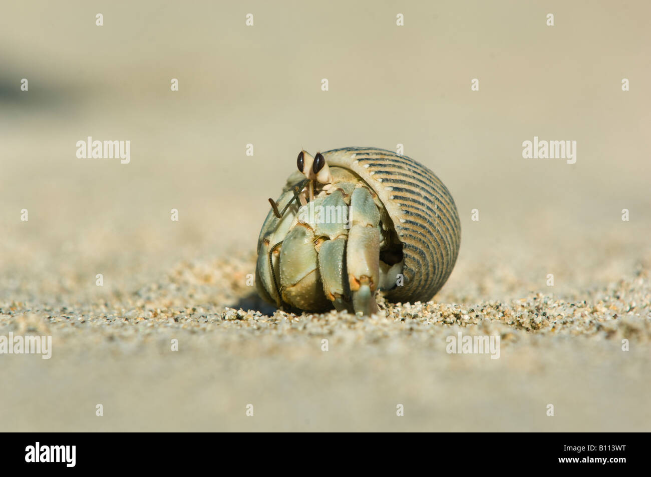 Hermit Crab, Sea of Cortez, Baja California MEXICO - Stock Image