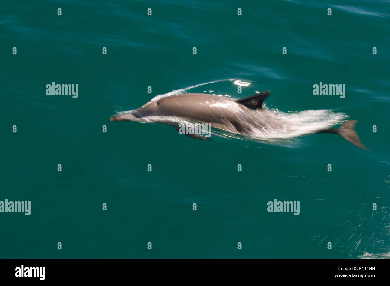 Long-beaked Common Dolphin (Delphinus capensis) Sea of Cortez, Baja California MEXICO - Stock Image