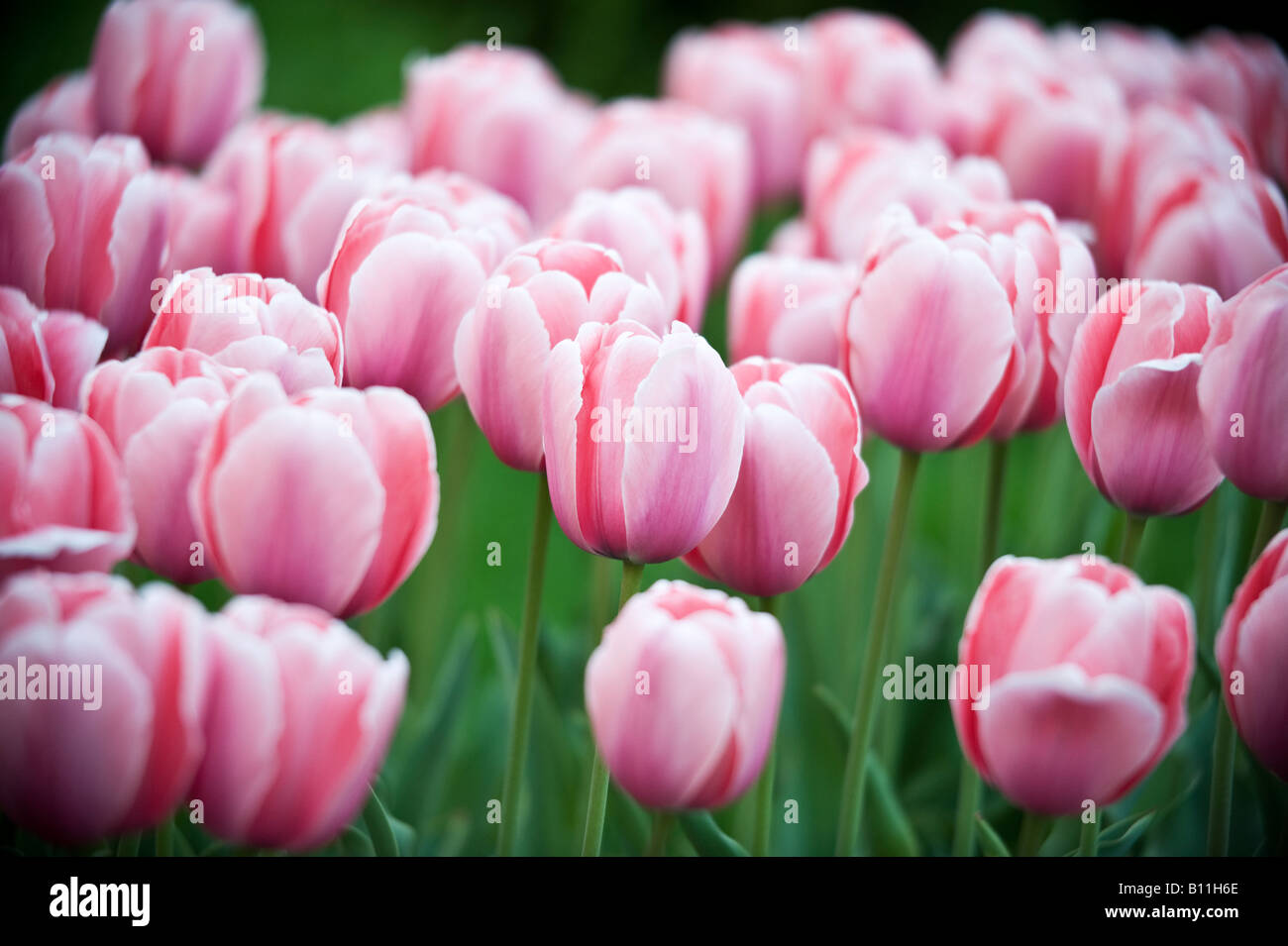 Spring tulips in Broklyn New York - Stock Image