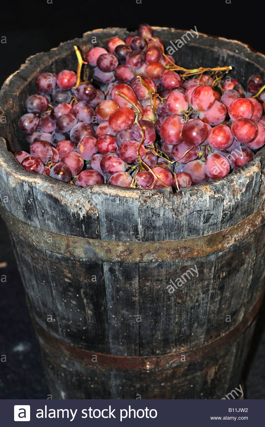 An old wooden barrel containing fresh picked grapes - Stock Image