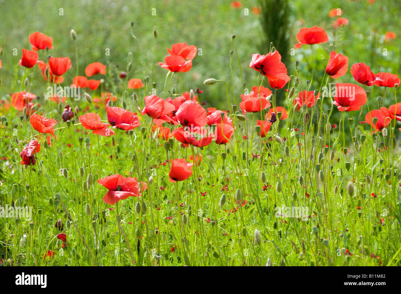 Red poppy flowers in a grass field - Stock Image