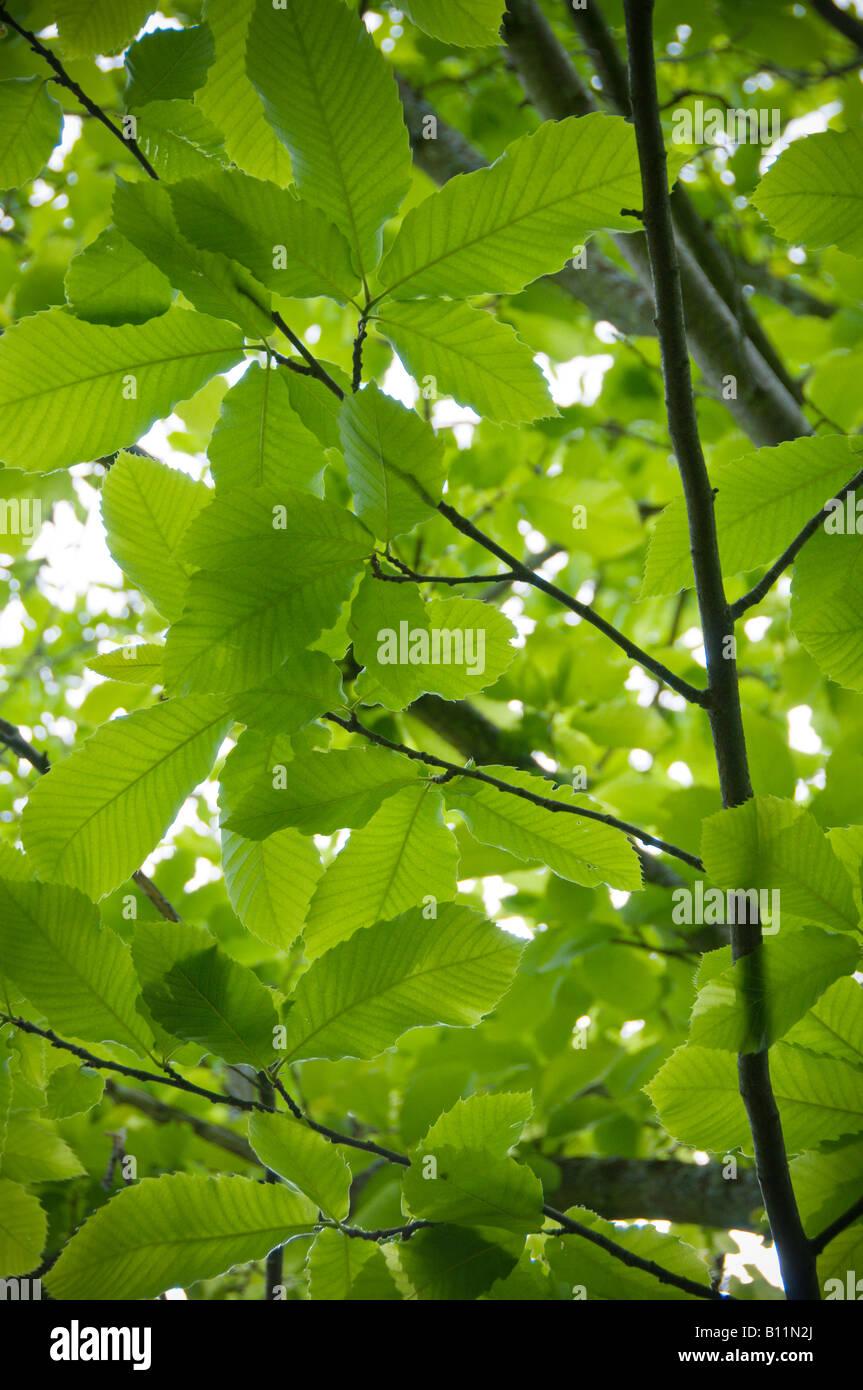 Tree leaves - Stock Image