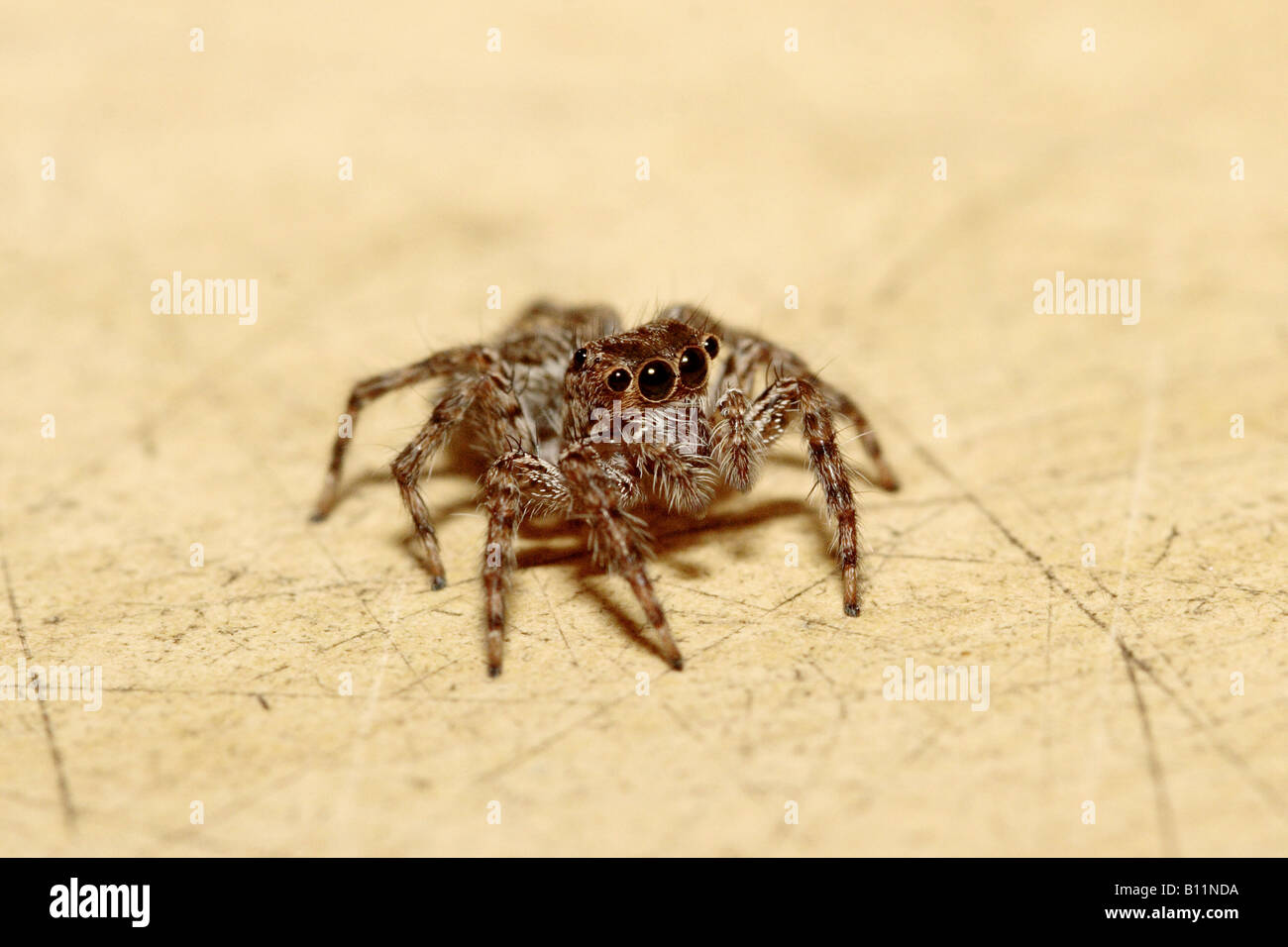 Jumping spider close up - Stock Image