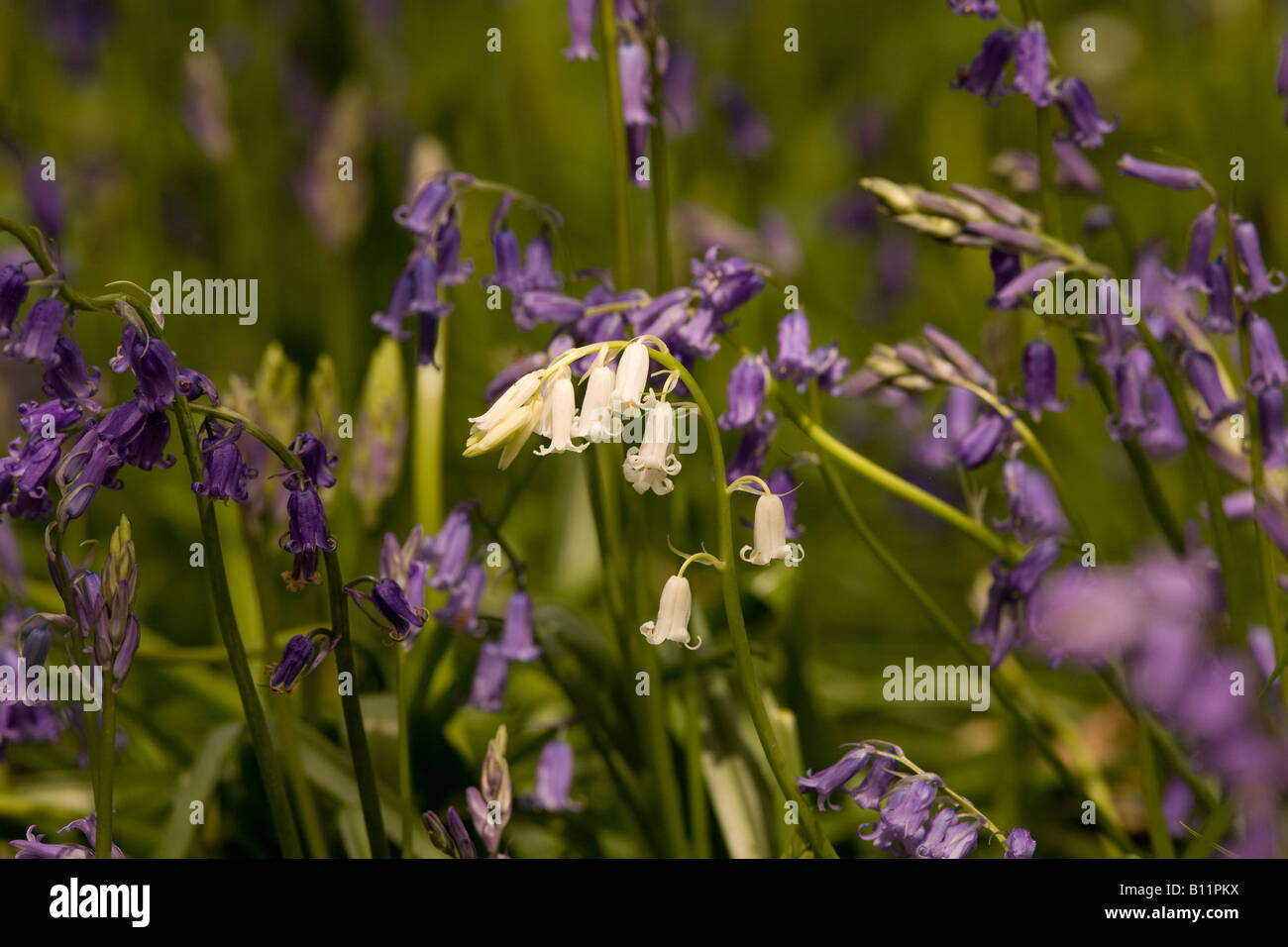 White Bluebells in East Sussex, England Stock Photo