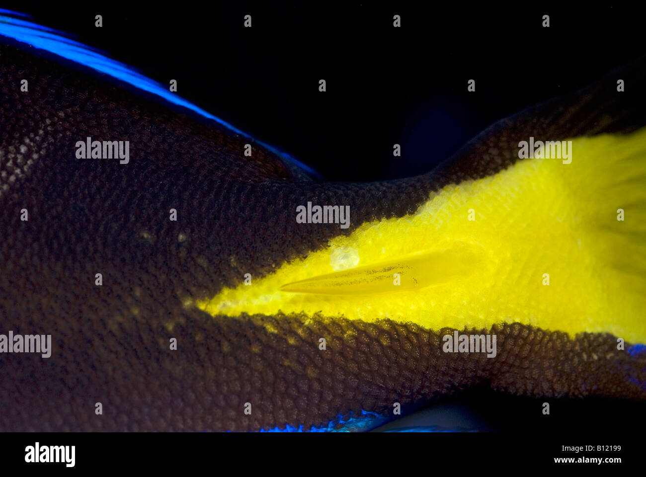 Sting of Blue Tang, Blue Hippo Tang or Palete Surgeonfish (Paracanthurus hepatus), Acanthuridae - Stock Image