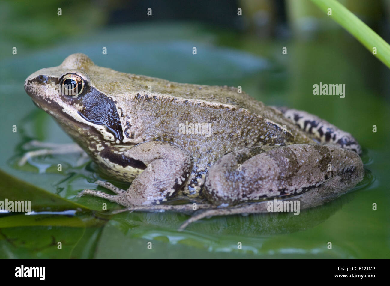 Common Frog, Rana temporaria, on a water-lily leaf - Stock Image