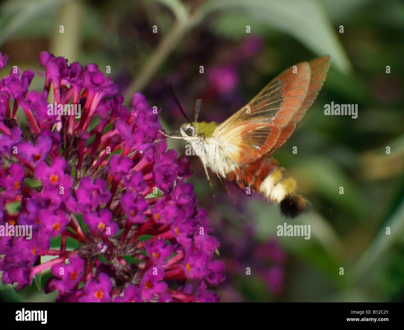 sphinx gaze Hummelschwaermer Broad bordered Bee Hawkmoth Hemaris fuciformis in flight animals butterflies butterfly - Stock Image