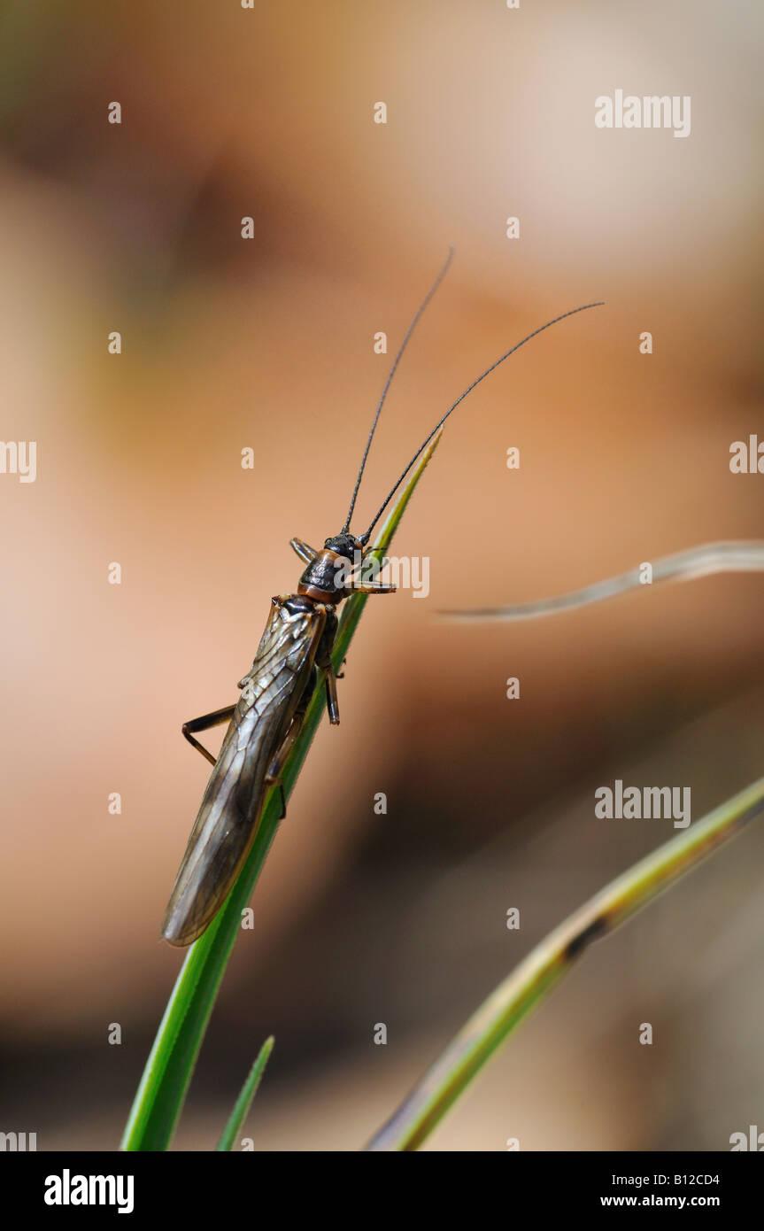 Stonefly (Brachyptera seticornis) - Stock Image