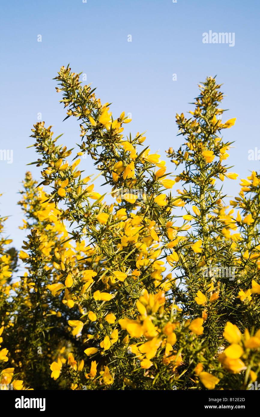 Yellow gorse bushes growing on Burton common. Doset. UK. Spring. Ulex europaeus - Stock Image