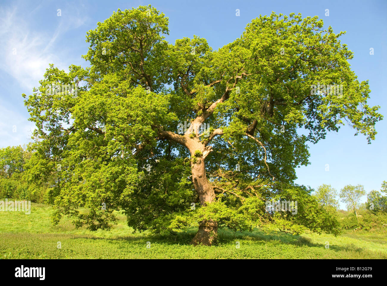 An oak tree in the English countryside - Stock Image