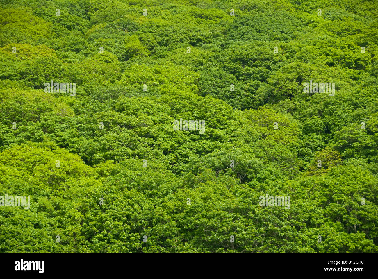 Green tree canopy of Oak trees in Britain - Stock Image