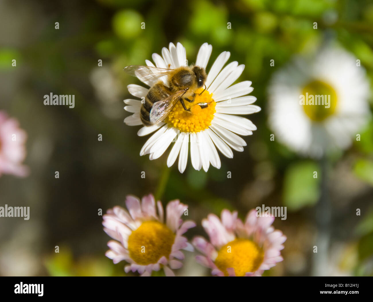 A Bee on a daisy flower collecting pollen - Stock Image