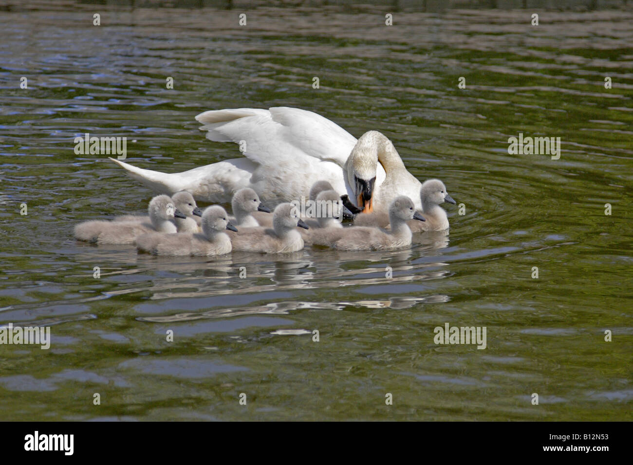 Mute Swan with Cygnets Stock Photo