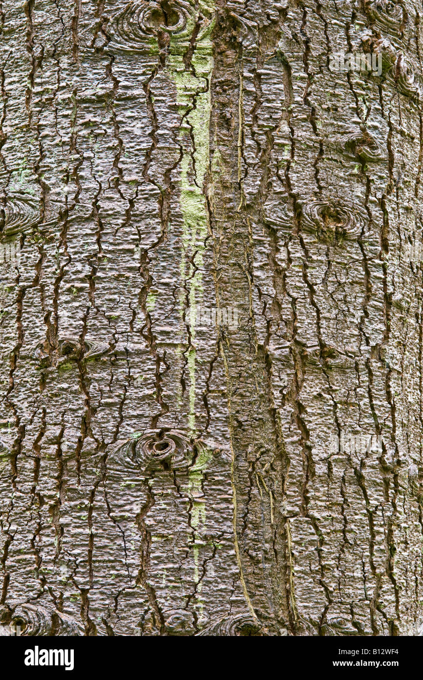 Noble Fir Abies procera close up of the bark of old tree Perthshire Big Tree Country Scotland UK Europe May - Stock Image