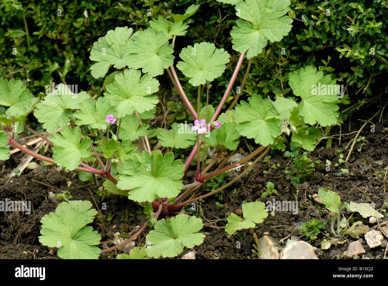 Round leaved cranesbill Geranium rotundifolium flowering plant Stock Photo