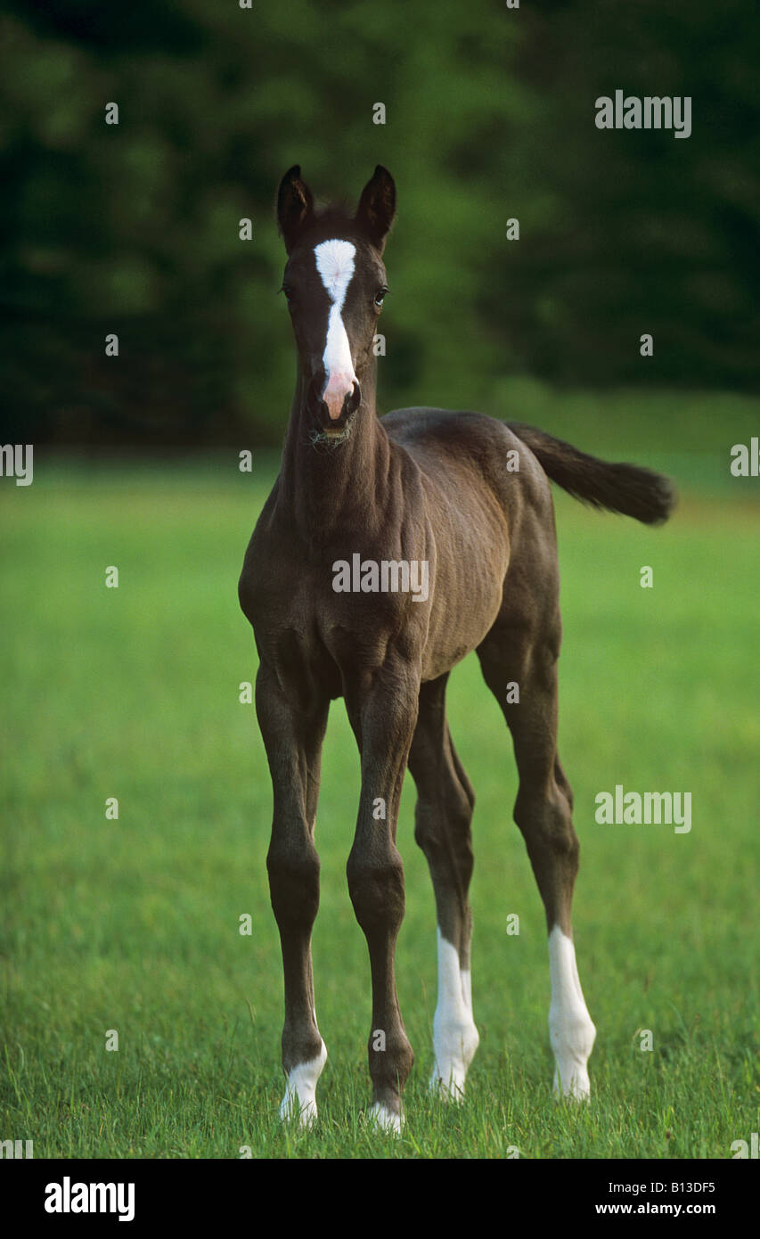 oldenburg horse foal - standing on meadow - Stock Image