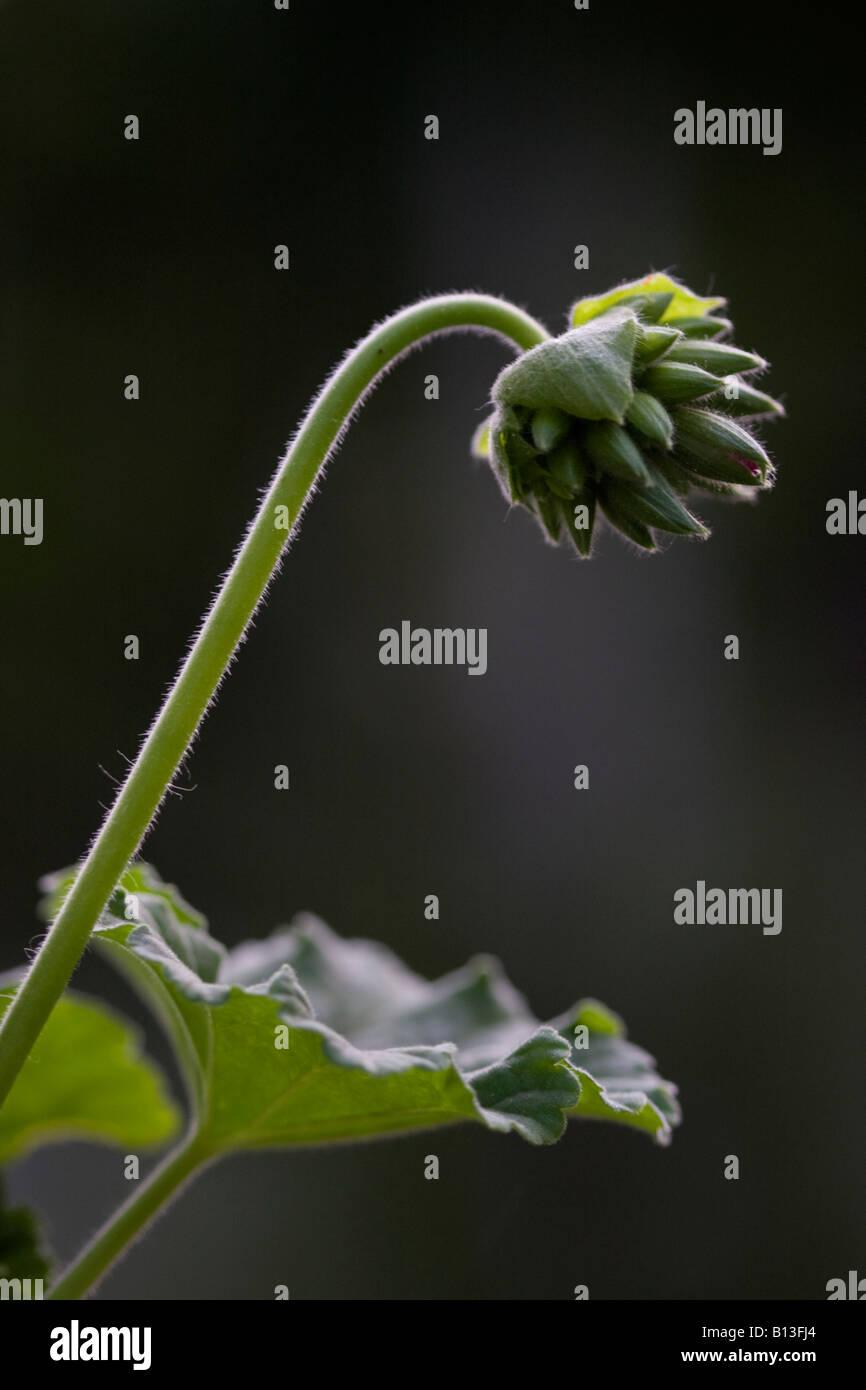 PLANT OF GREEN FLOWER ON BLACK BACKGROUND IN BACKLIGHTING - Stock Image